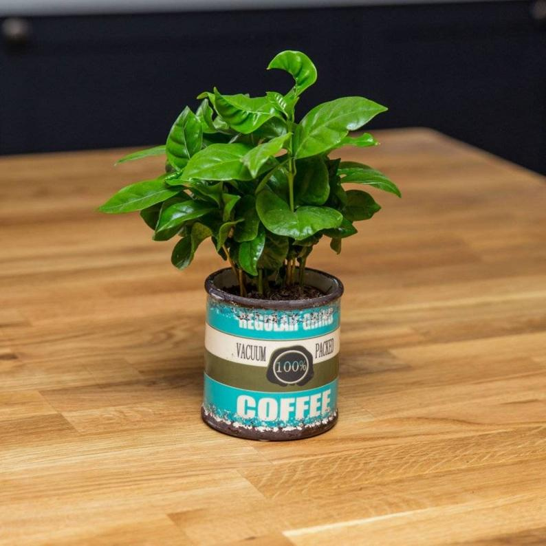 Grow your own coffee plant